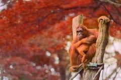 坐与密林的成人猩猩作为背景 图库摄影