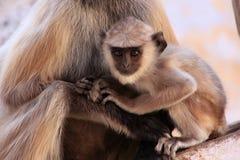 坐与母亲,普斯赫卡尔,印度的婴孩灰色叶猴 免版税库存照片