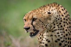 坐与流血的嘴的猎豹特写镜头 免版税库存图片