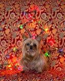 坐与舌头的约克夏狗停留在多彩多姿的光前面 免版税库存图片