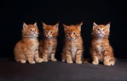 坐与beautifu的四只可爱的红色坚实缅因浣熊小猫 免版税图库摄影