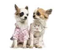 坐两穿戴的奇瓦瓦狗, 9个月 库存图片