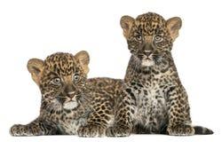 坐两被察觉的豹子的崽躺下和 免版税库存照片