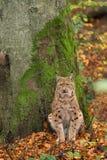 坐为一棵树的天猫座(天猫座天猫座)在巴法力亚森林, duri里 库存图片