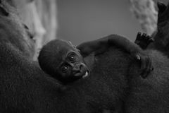 坐举行的单音小大猩猩母亲 库存照片
