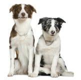 坐二的博德牧羊犬 免版税库存图片