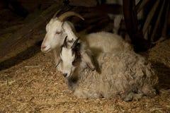 坐二的山羊 免版税库存照片