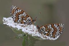 坐伞欧蓍草的两只蝴蝶 免版税库存照片