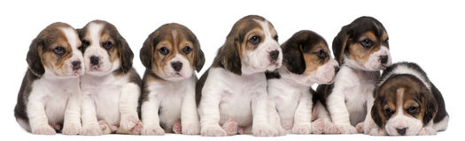 坐几星期的4只小猎犬组老小狗 免版税库存照片