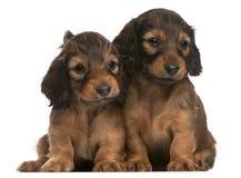 坐几星期的5只达克斯猎犬老小狗 免版税库存图片