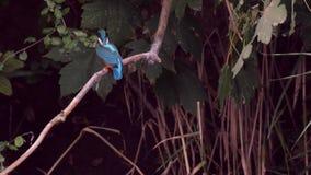 坐分支和潜水在水中的共同的翠鸟 影视素材