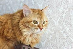 坐周道的姜的猫户内 库存照片