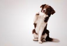 坐和举爪子的小辈棕色博德牧羊犬 免版税库存照片