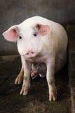 坐和凝视入照相机的逗人喜爱的猪 免版税图库摄影