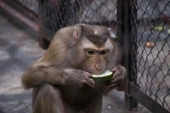 坐和吃瓜的北猪被盯梢的短尾猿 图库摄影
