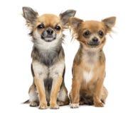 坐和查看照相机的二奇瓦瓦狗 免版税库存图片