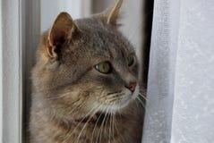 坐和看在帷幕和窗口之间的灰色猫 库存图片