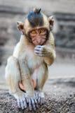 坐和看在照相机的小逗人喜爱的猴子 免版税图库摄影
