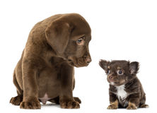 坐和看奇瓦瓦狗的拉布拉多猎犬小狗 库存图片