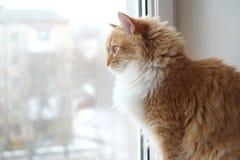 坐和看对窗口的美丽的红色猫 库存图片