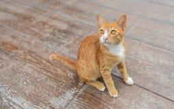 坐和看对蜥蜴的黄色虎斑猫 库存图片