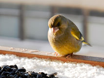坐和看种子的Greenfinch 免版税图库摄影