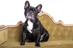 坐和观看在一个绿色沙发的法国牛头犬 库存图片