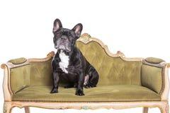 坐和观看在葡萄酒绿色沙发的法国牛头犬 库存图片