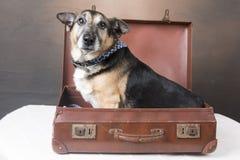 坐在一个古板的手提箱里面的逗人喜爱的小狗狗 库存图片