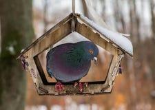 坐在一个暂时小屋的鸽子在冬天 免版税图库摄影