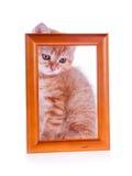 坐在一个木制框架的红色小猫 免版税库存照片