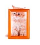 坐在一个木制框架的红色小猫 库存图片