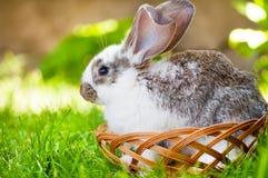坐在一个木篮子的白色小的兔宝宝 免版税库存图片