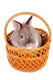 坐在一个柳条筐的兔子 免版税库存照片