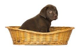 坐在一个柳条筐的拉布拉多猎犬小狗 免版税库存照片