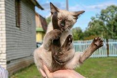 坐在一个滑稽的位置和拥抱他的尾巴的猫 图库摄影