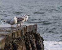 坐在一个石码头边缘的一个小组海鸥 免版税库存图片