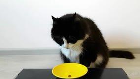 坐在一个空的碗的蓬松黑白猫 正在寻找大师和他给她的三顿快餐 猫舔空的碗 股票录像