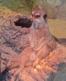 坐在一个滑稽的姿势的Meerkat 免版税库存照片