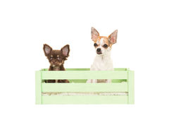 坐在一个绿色条板箱的两条奇瓦瓦狗狗 库存图片