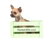 坐在一个绿色条板箱的逗人喜爱的奇瓦瓦狗小狗 图库摄影