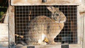 坐在一只笼子的灰色大兔子在村庄 股票录像