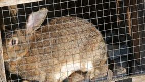 坐在一只笼子的灰色大兔子在村庄 影视素材