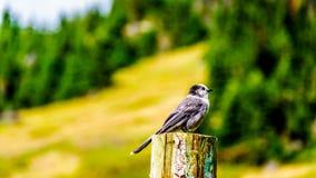 坐在一根杆顶部的灰色杰伊在高高山草甸 免版税图库摄影