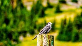坐在一根杆顶部的灰色杰伊在高高山草甸 免版税库存照片