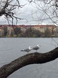 坐在一棵树的两只海鸥在斯德哥尔摩,瑞典 免版税图库摄影