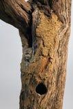 坐在一棵树的凹陷的被察觉的猫头鹰之子雅典娜布罗莫在Ke 免版税图库摄影