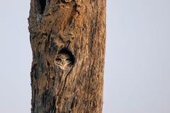 坐在一棵树的凹陷的被察觉的猫头鹰之子雅典娜布罗莫在Ke 免版税库存照片