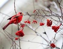 坐在一棵树的红色主教用红色莓果 免版税库存图片