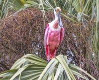 坐在一棵棕榈树的一只粉红琵鹭鸟在佛罗里达 免版税库存图片